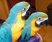 Продам попугая ара сине-желтый
