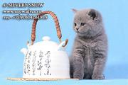 Плюшевые голубые британские котята