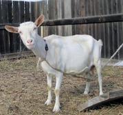Продаю козу дойную (5 лет) и козла (6 мес.)